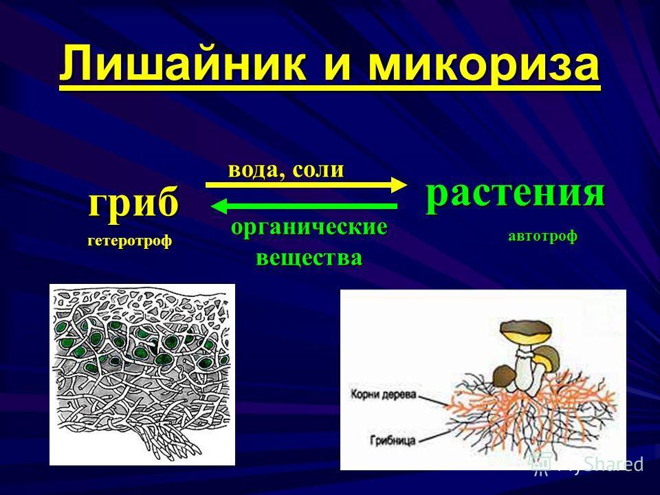 гриб растения вода, соли органическиевещества гетеротроф автотроф Лишайник и микориза