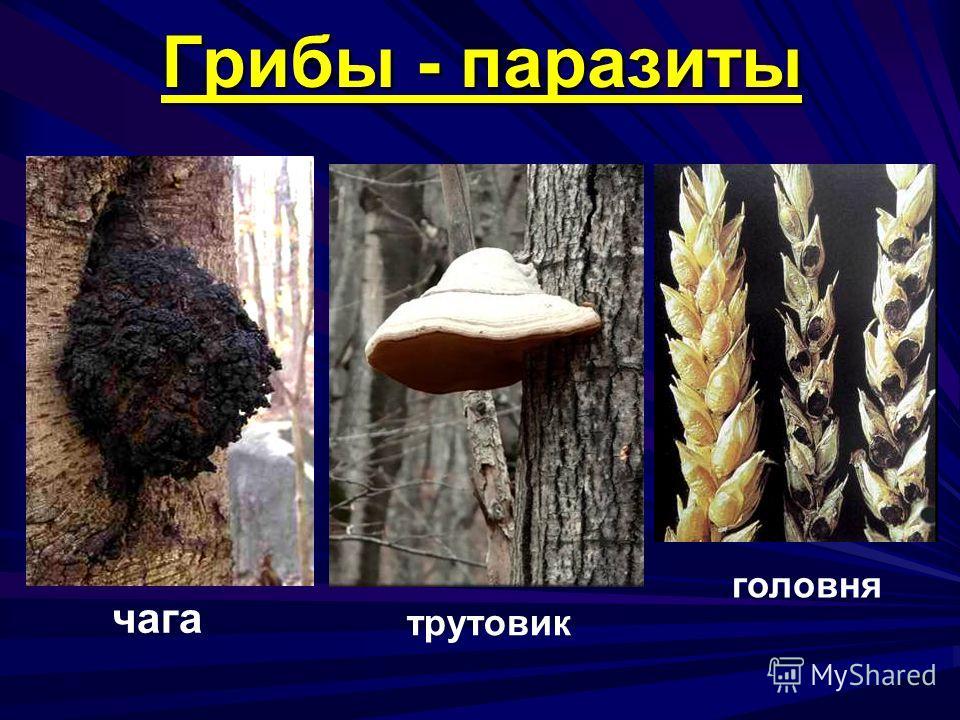 Грибы - паразиты чага трутовик головня