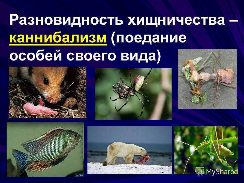 Разновидность хищничества – каннибализм (поедание особей своего вида)