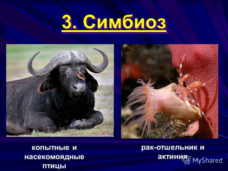 3. Симбиоз копытные и насекомоядные птицы рак-отшельник и актиния