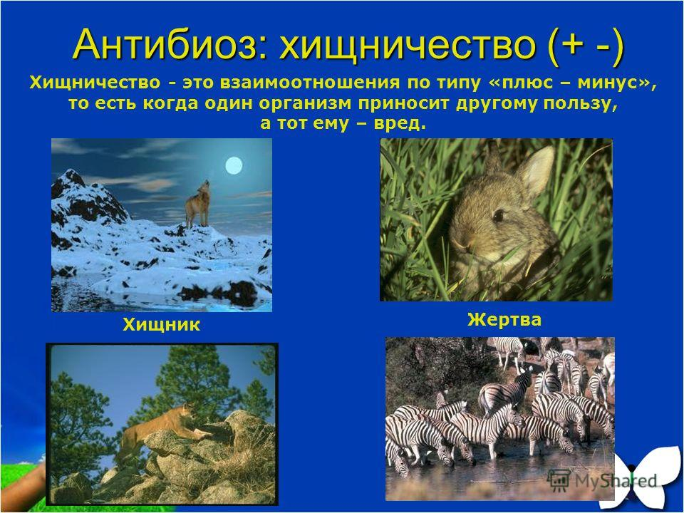 Антибиоз: хищничество (+ -) Хищничество - это взаимоотношения по типу «плюс – минус», то есть когда один организм приносит другому пользу, а тот ему – вред. Хищник Жертва