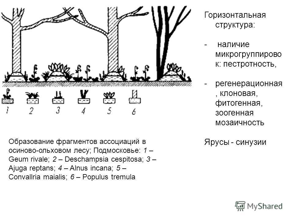 Образование фрагментов ассоциаций в осиново-ольховом лесу; Подмосковье: 1 – Geum rivale; 2 – Deschampsia cespitosa; 3 – Ajuga reptans; 4 – Alnus incana; 5 – Convallria maialis; 6 – Populus tremula Горизонтальная структура: - наличие микрогруппирово к