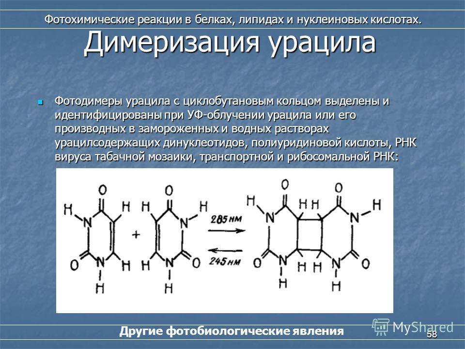 58 Другие фотобиологические явления Фотохимические реакции в белках, липидах и нуклеиновых кислотах. Димеризация урацила Фотодимеры урацила с циклобутановым кольцом выделены и идентифицированы при УФ-облучении урацила или его производных в замороженн