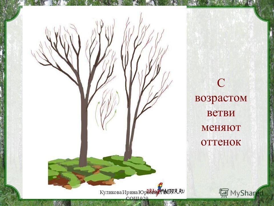 С возрастом ветви меняют оттенок Куликова Ирина Юрьевна ГБОУ СОШ 929