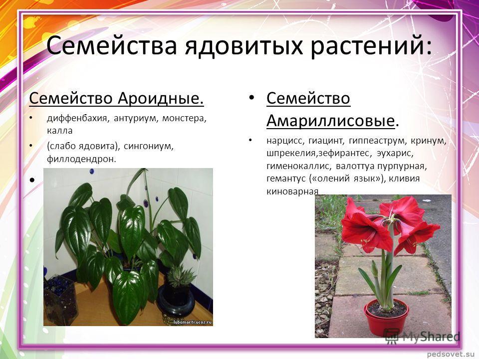 Семейства ядовитых растений: Семейство Ароидные. диффенбахия, антуриум, монстера, калла (слабо ядовита), сингониум, филлодендрон. Семейство Амариллисовые. нарцисс, гиацинт, гиппеаструм, кринум, шпрекелия,зефирантес, эухарис, гименокаллис, валоттуа пу