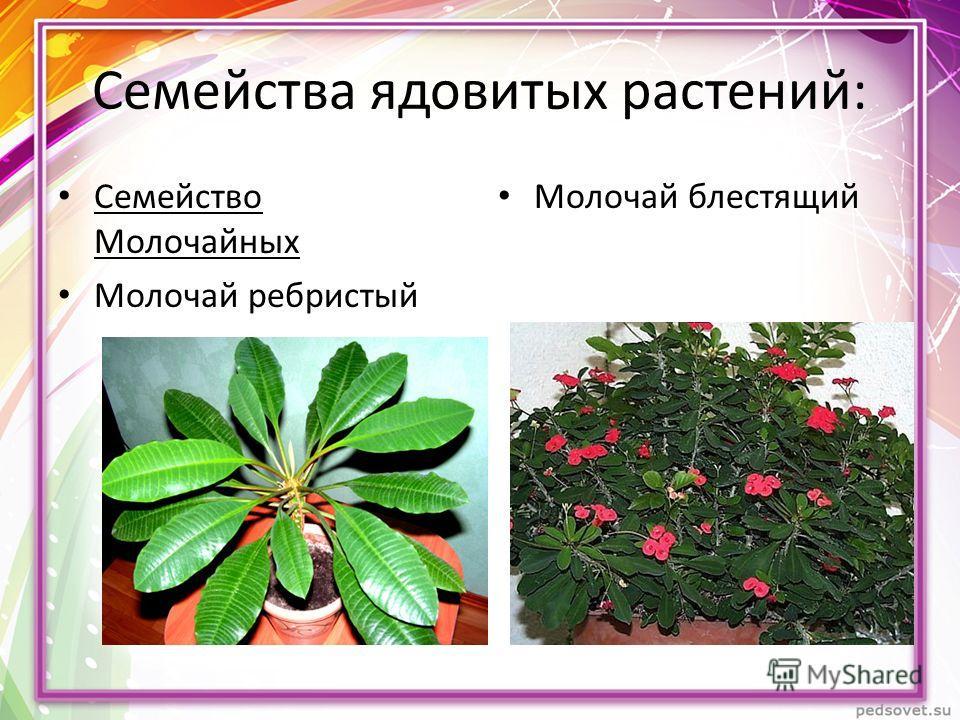 Семейства ядовитых растений: Семейство Молочайных Молочай ребристый Молочай блестящий
