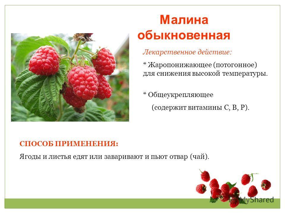 Малина обыкновенная Лекарственное действие: * Жаропонижающее (потогонное) для снижения высокой температуры. * Общеукрепляющее (содержит витамины С, В, Р). СПОСОБ ПРИМЕНЕНИЯ: Ягоды и листья едят или заваривают и пьют отвар (чай).