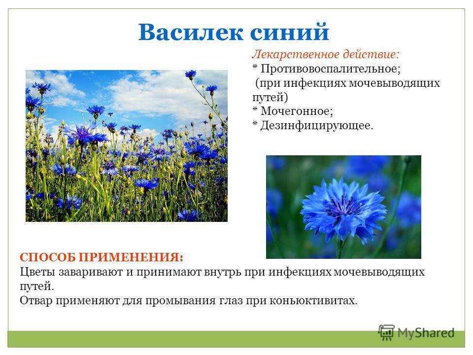 Василек синий Лекарственное действие: * Противовоспалительное; (при инфекциях мочевыводящих путей) * Мочегонное; * Дезинфицирующее. СПОСОБ ПРИМЕНЕНИЯ: Цветы заваривают и принимают внутрь при инфекциях мочевыводящих путей. Отвар применяют для промыван