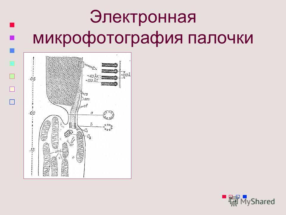 Электронная микрофотография палочки