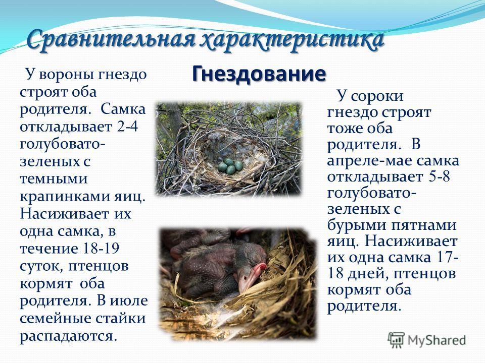 Сравнительная характеристика Гнездование У сороки гнездо строят тоже оба родителя. В апреле-мае самка откладывает 5-8 голубовато- зеленых с бурыми пятнами яиц. Насиживает их одна самка 17- 18 дней, птенцов кормят оба родителя. У вороны гнездо строят