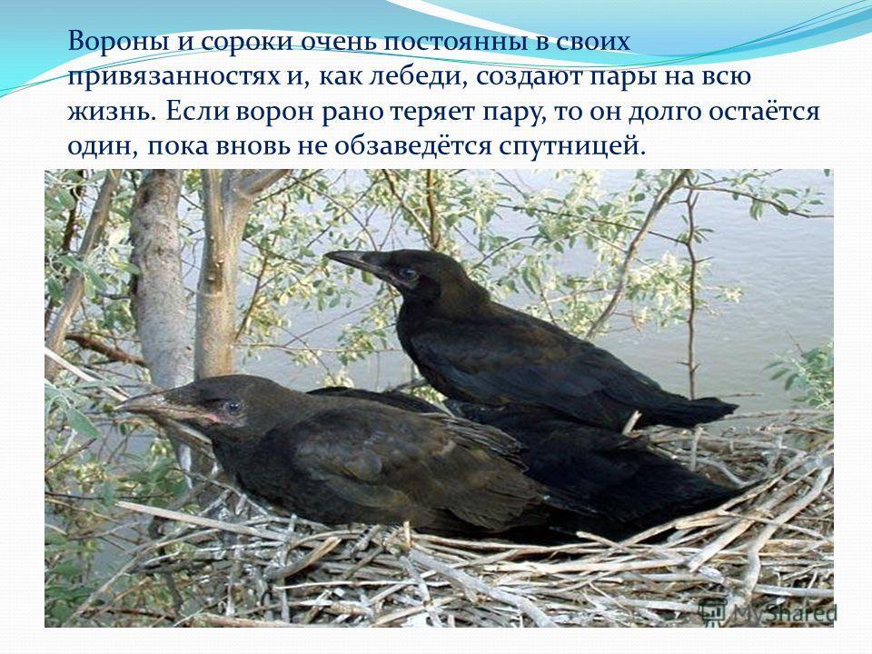 Вороны и сороки очень постоянны в своих привязанностях и, как лебеди, создают пары на всю жизнь. Если ворон рано теряет пару, то он долго остаётся один, пока вновь не обзаведётся спутницей.