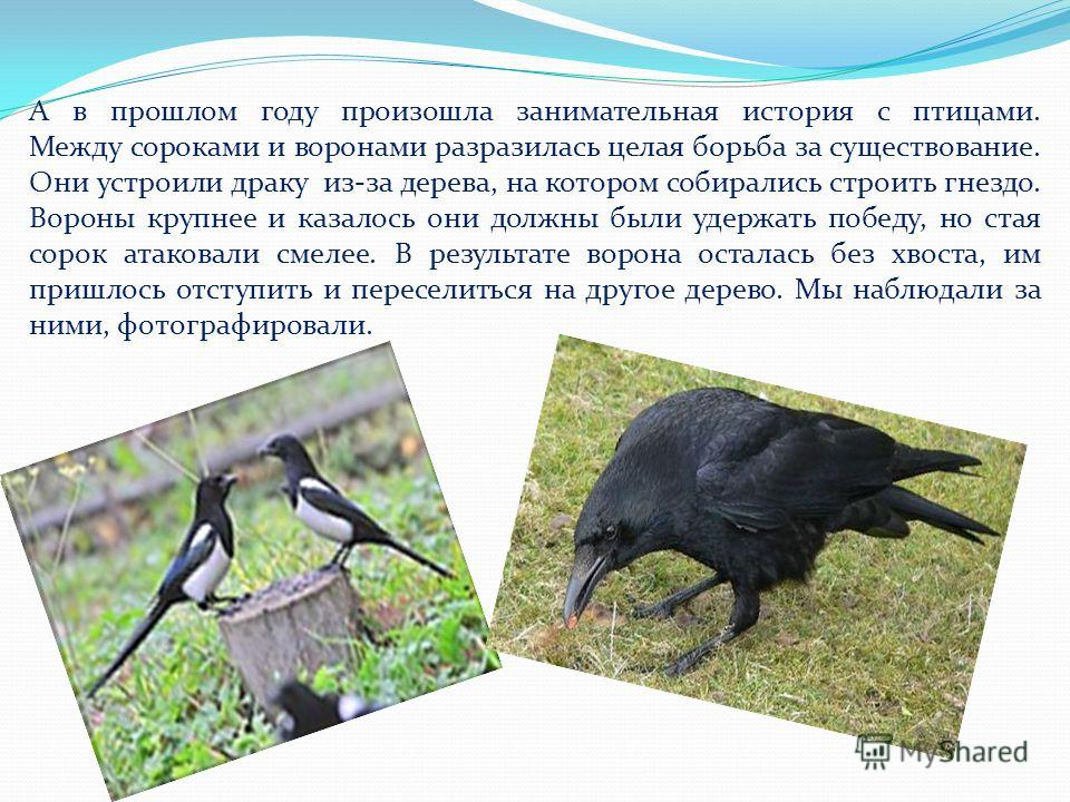 А в прошлом году произошла занимательная история с птицами. Между сороками и воронами разразилась целая борьба за существование. Они устроили драку из-за дерева, на котором собирались строить гнездо. Вороны крупнее и казалось они должны были удержать