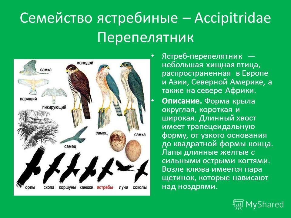 Ястреб-перепелятник небольшая хищная птица, распространенная в Европе и Азии, Северной Америке, а также на севере Африки. Описание. Форма крыла округлая, короткая и широкая. Длинный хвост имеет трапецеидальную форму, от узкого основания до квадратной