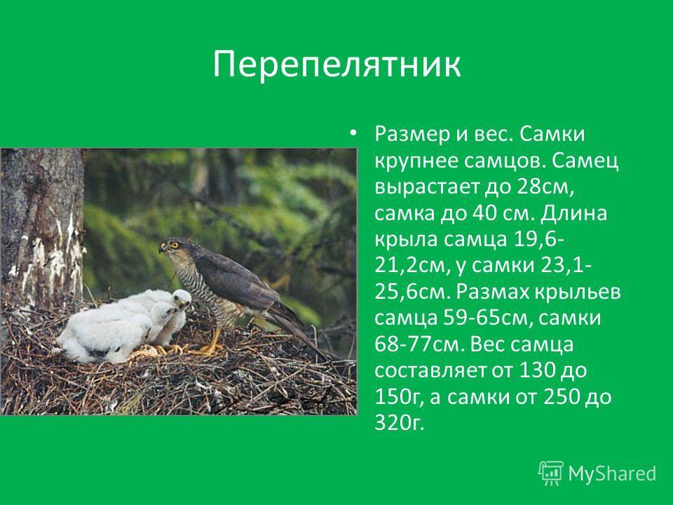 Перепелятник Размер и вес. Самки крупнее самцов. Самец вырастает до 28 см, самка до 40 см. Длина крыла самца 19,6- 21,2 см, у самки 23,1- 25,6 см. Размах крыльев самца 59-65 см, самки 68-77 см. Вес самца составляет от 130 до 150 г, а самки от 250 до