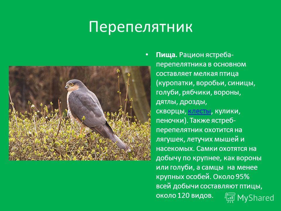 Перепелятник Пища. Рацион ястреба- перепелятника в основном составляет мелкая птица (куропатки, воробьи, синицы, голуби, рябчики, вороны, дятлы, дрозды, скворцы, клесты, кулики, пеночки). Также ястреб- перепелятник охотится на лягушек, летучих мышей