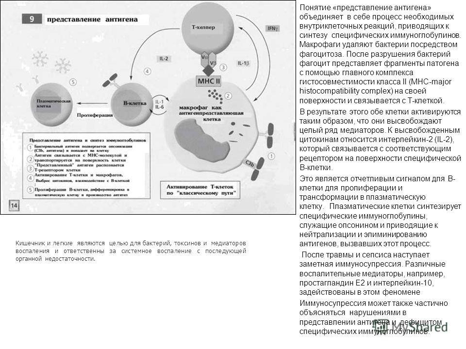 Понятие «представление антигена» объединяет в себе процесс необходимых внутриклеточных реакций, приводящих к синтезу специфических иммуноглобулинов. Макрофаги удаляют бактерии посредством фагоцитоза. После разрушения бактерий фагоцит представляет фра