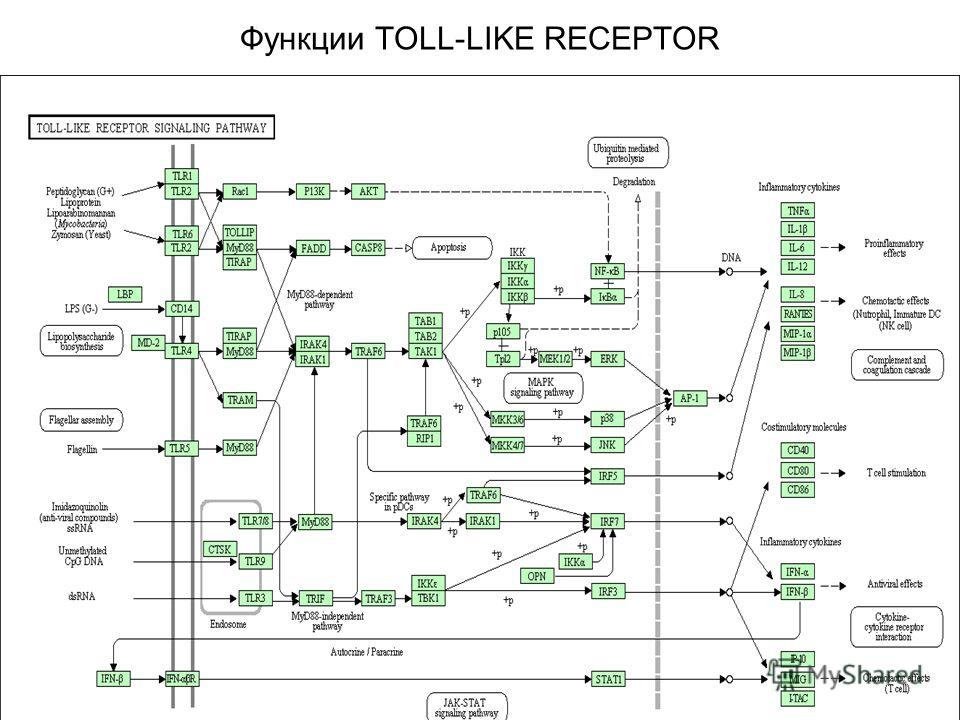 Функции TOLL-LIKE RECEPTOR