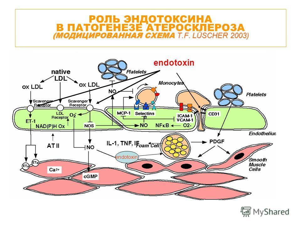 (МОДИЦИРОВАННАЯ СХЕМА T.F. LÜSCHER 2003) РОЛЬ ЭНДОТОКСИНА В ПАТОГЕНЕЗЕ АТЕРОСКЛЕРОЗА (МОДИЦИРОВАННАЯ СХЕМА T.F. LÜSCHER 2003) NAD(P)H Ox NF B O2- AT II IL-1, TNF, IF endotoxin