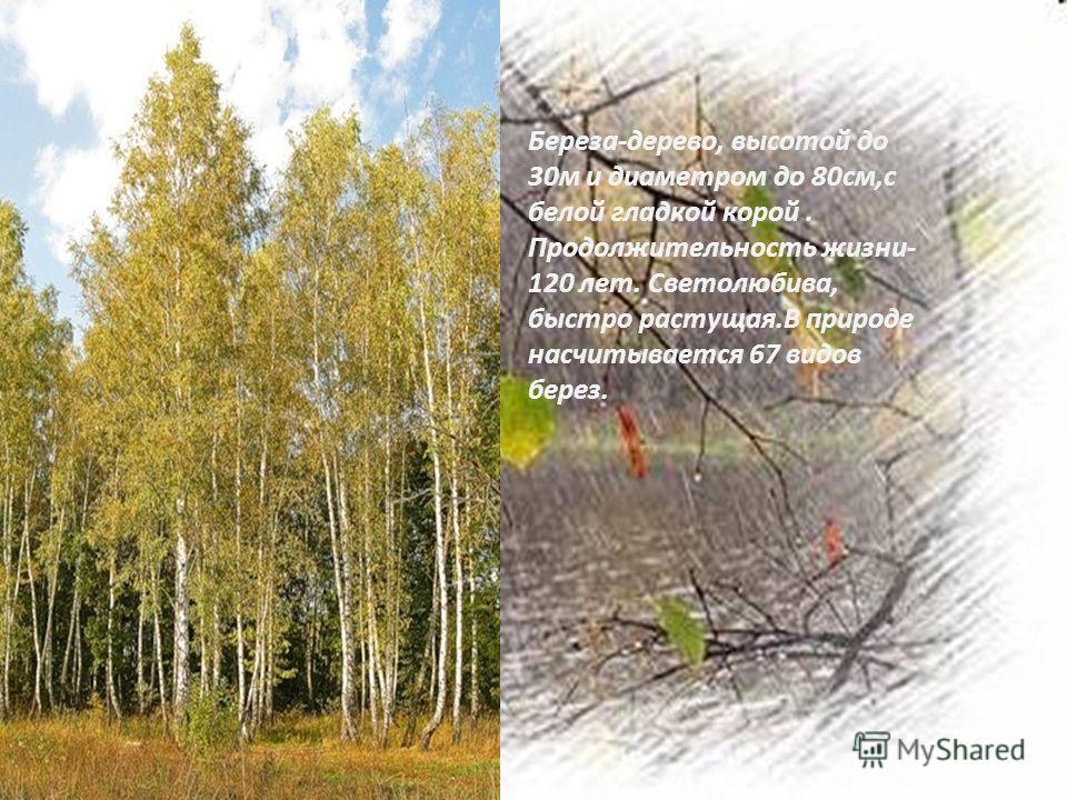 Береза-дерево, высотой до 30 м и диаметром до 80 см,с белой гладкой корой. Продолжительность жизни- 120 лет. Светолюбива, быстро растущая.В природе насчитывается 67 видов берез.
