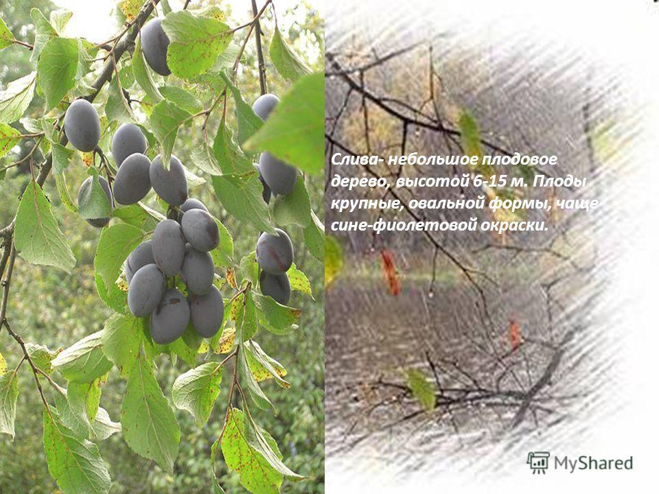 Слива- небольшое плодовое дерево, высотой 6-15 м. Плоды крупные, овальной формы, чаще сине-фиолетовой окраски.
