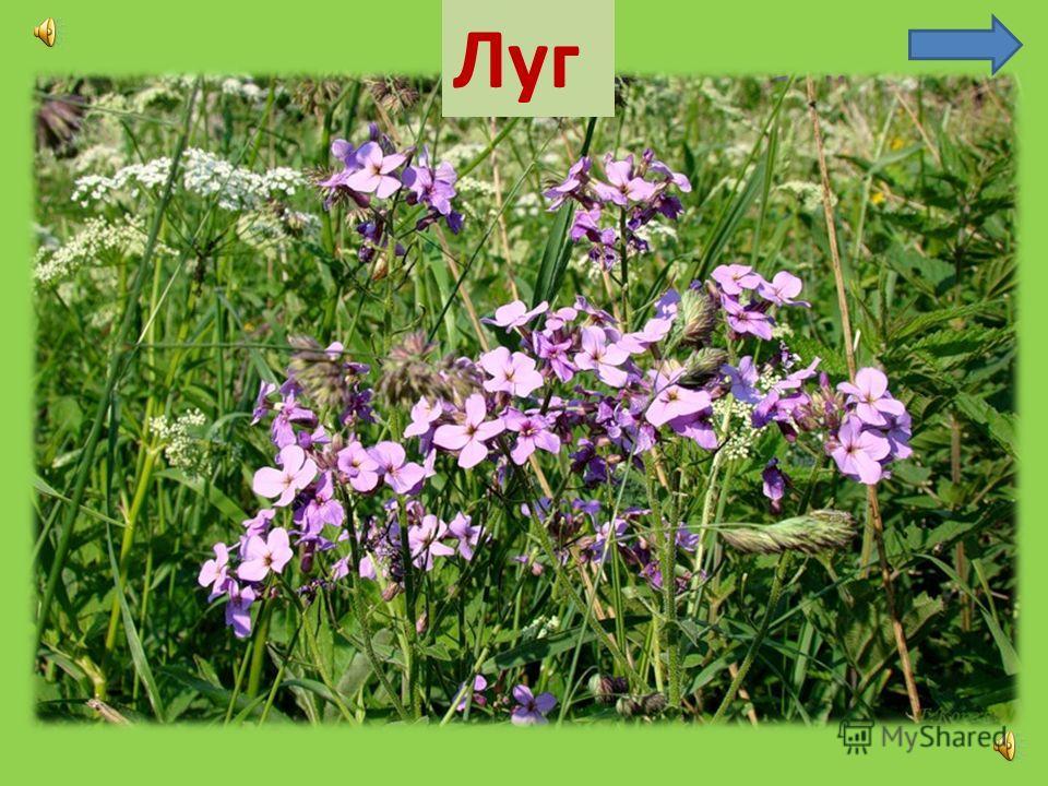 Домовитая хозяйка Похлопочет Пролетала над над цветком - лужайкой, Он поделится медком. Пчела