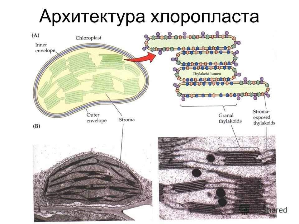 Архитектура хлоропласта