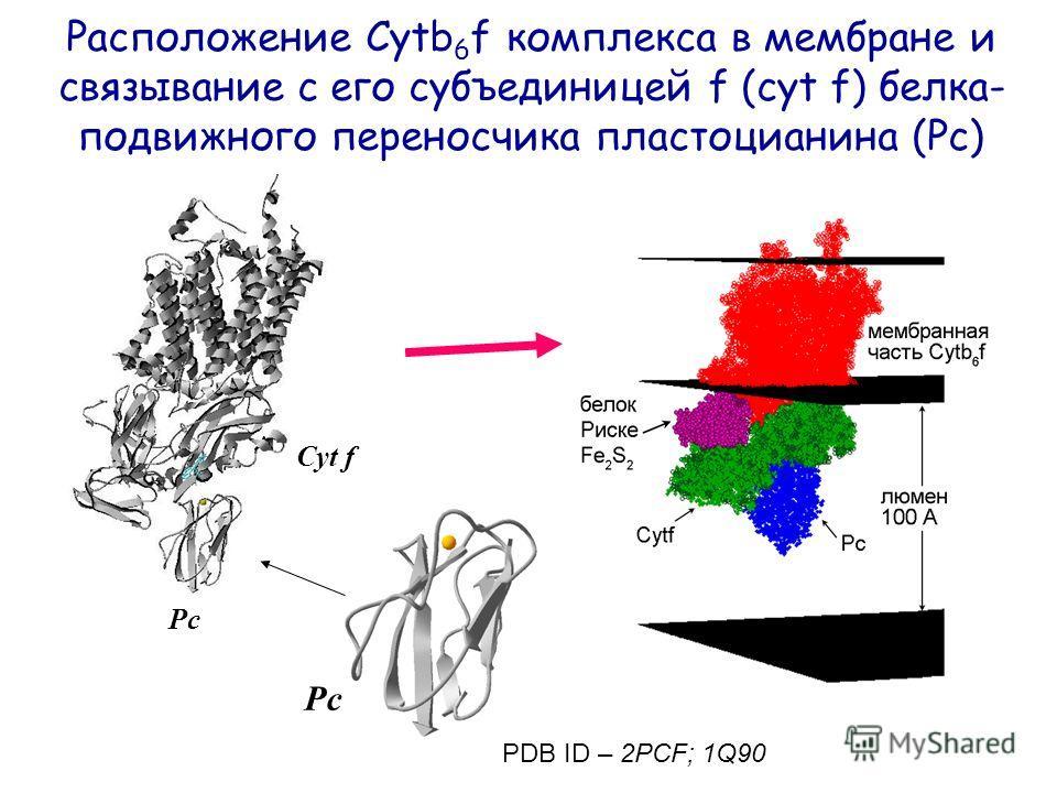 Расположение Cytb 6 f комплекса в мембране и связывание с его субъединицей f (cyt f) белка- подвижного переносчика пластоцианина (Pc) Pc Cyt f PDB ID – 2PCF; 1Q90