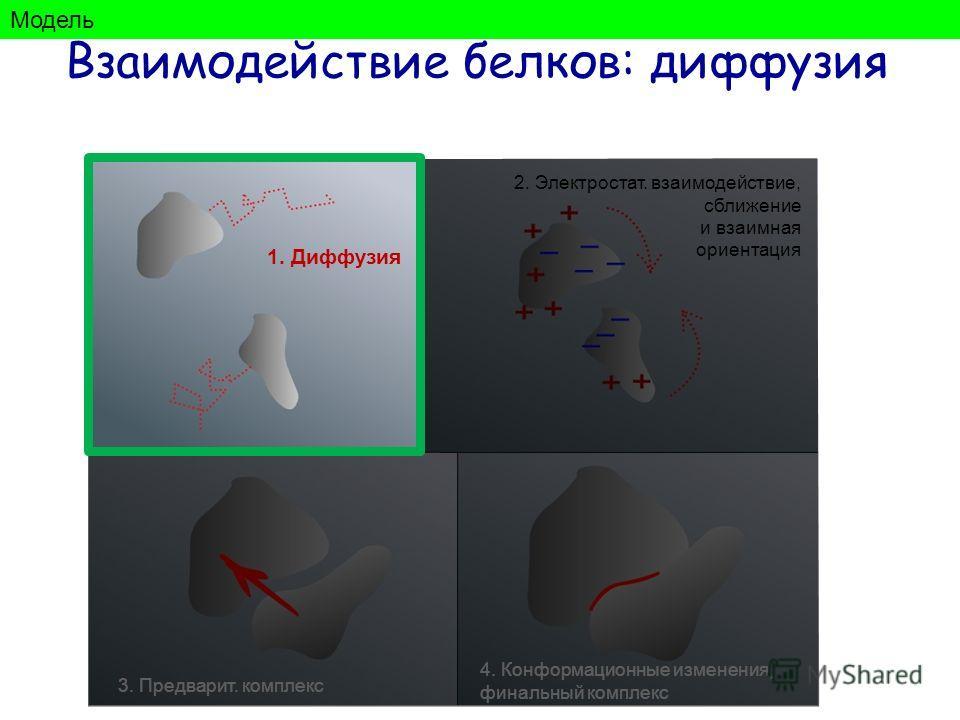 1. Диффузия 2. Электростат. взаимодействие, сближение и взаимная ориентация 3. Предварит. комплекс 4. Конформационные изменения, финальный комплекс Взаимодействие белков: диффузия Модель