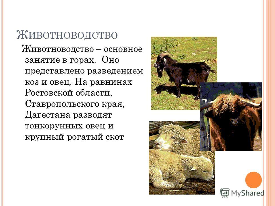 Ж ИВОТНОВОДСТВО Животноводство – основное занятие в горах. Оно представлено разведением коз и овец. На равнинах Ростовской области, Ставропольского края, Дагестана разводят тонкорунных овец и крупный рогатый скот