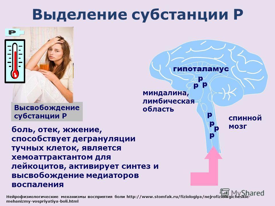 p боль, отек, жжение, способствует дегрануляции тучных клеток, является хемоаттрактантом для лейкоцитов, активирует синтез и высвобождение медиаторов воспаления p p p p p гипоталамус миндалина, лимбическая область cпинной мозг Выделение субстанции P