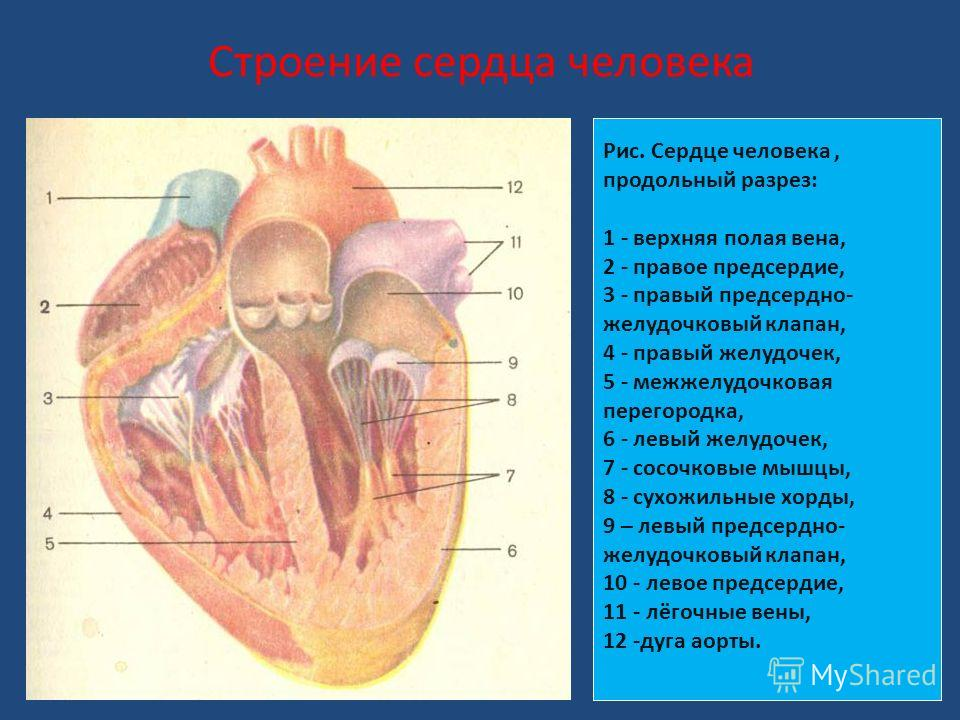 Строение сердца человека Рис. Сердце человека, продольный разрез: 1 - верхняя полая вена, 2 - правое предсердие, 3 - правый предсердно- желудочковый клапан, 4 - правый желудочек, 5 - межжелудочковая перегородка, 6 - левый желудочек, 7 - сосочковые мы