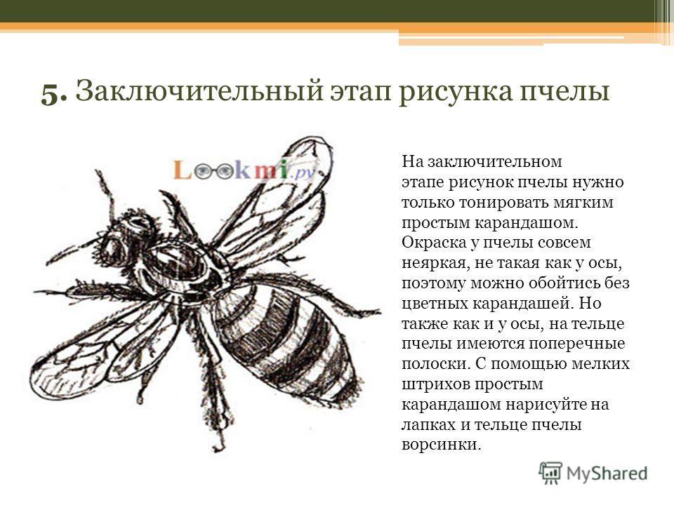 5. Заключительный этап рисунка пчелы На заключительном этапе рисунок пчелы нужно только тонировать мягким простым карандашом. Окраска у пчелы совсем неяркая, не такая как у осы, поэтому можно обойтись без цветных карандашей. Но также как и у осы, на