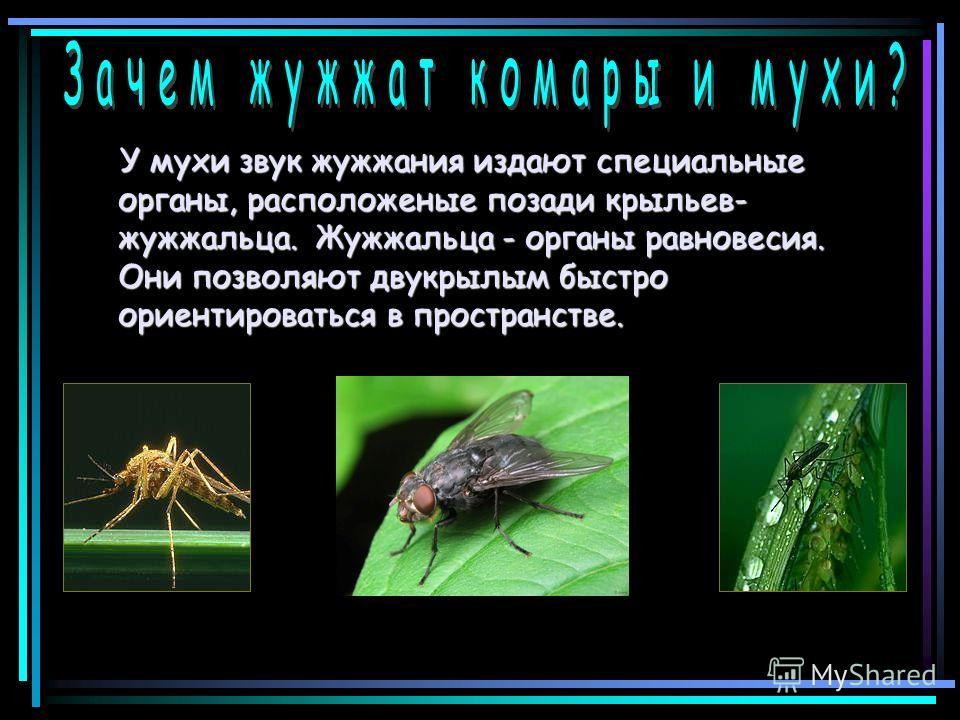 У мухи звук жужжания издают специальные органы, расположеные позади крыльев- жужжальца. Жужжальца - органы равновесия. Они позволяют двукрылым быстро ориентироваться в пространстве. У мухи звук жужжания издают специальные органы, расположеные позади