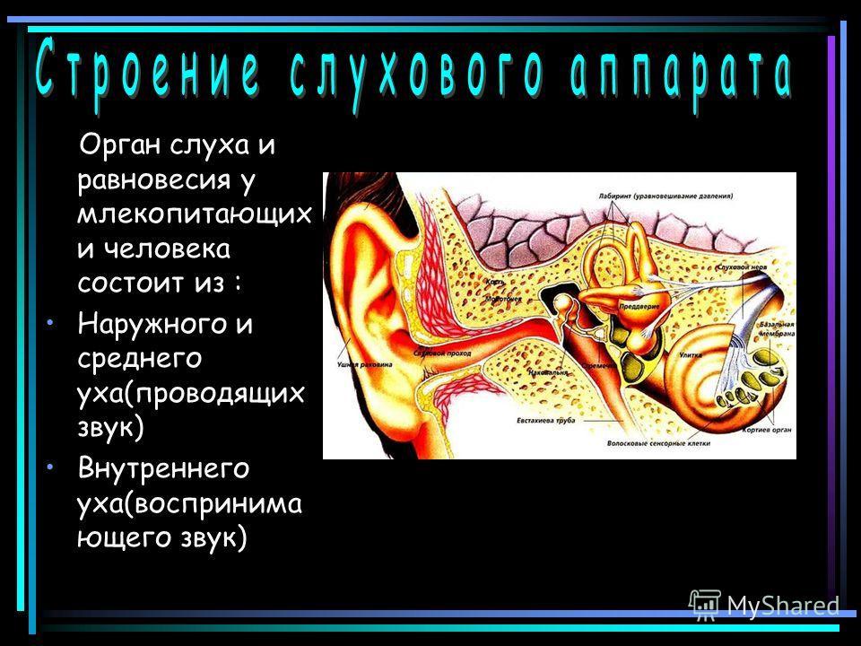 Орган слуха и равновесия у млекопитающих и человека состоит из : Наружного и среднего уха(проводящих звук) Внутреннего уха(воспринима ющего звук)