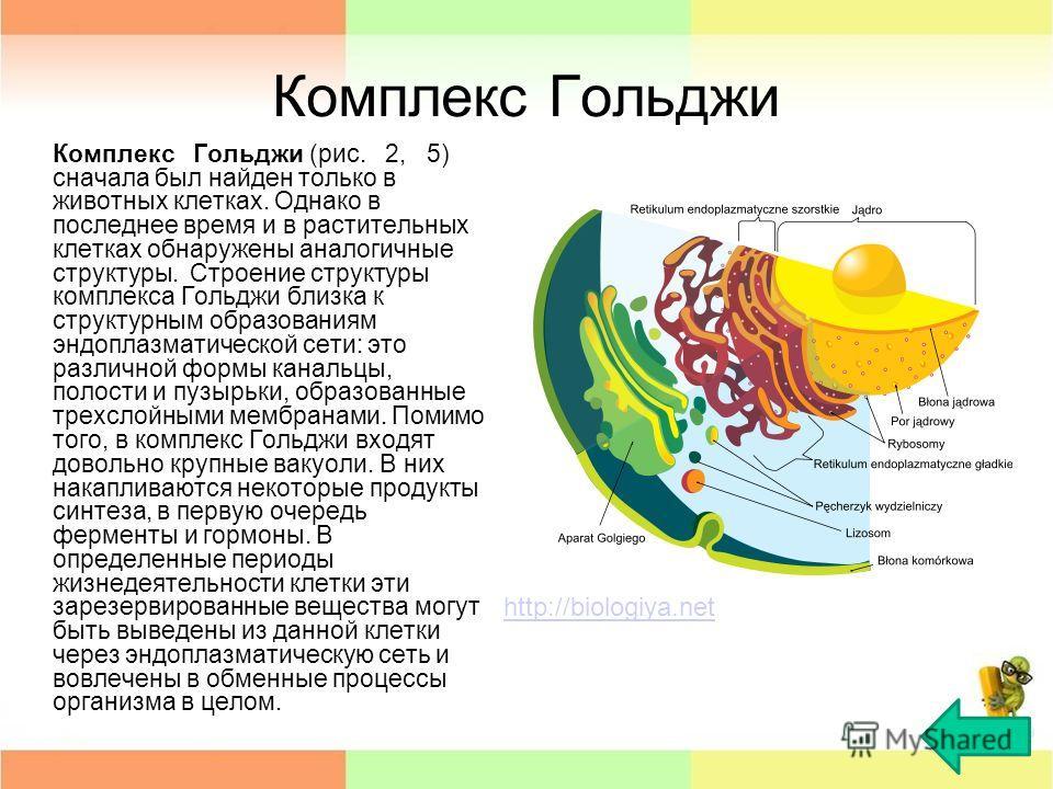 Комплекс Гольджи Комплекс Гольджи (рис. 2, 5) сначала был найден только в животных клетках. Однако в последнее время и в растительных клетках обнаружены аналогичные структуры. Строение структуры комплекса Гольджи близка к структурным образованиям энд