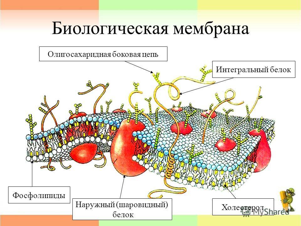 Биологическая мембрана Олигосахаридная боковая цепь Интегральный белок Фосфолипиды Наружный (шаровидный) белок Холестерол