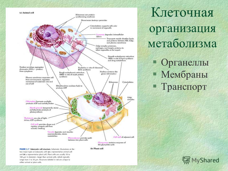 Клеточная организация метаболизма §Органеллы §Мембраны §Транспорт
