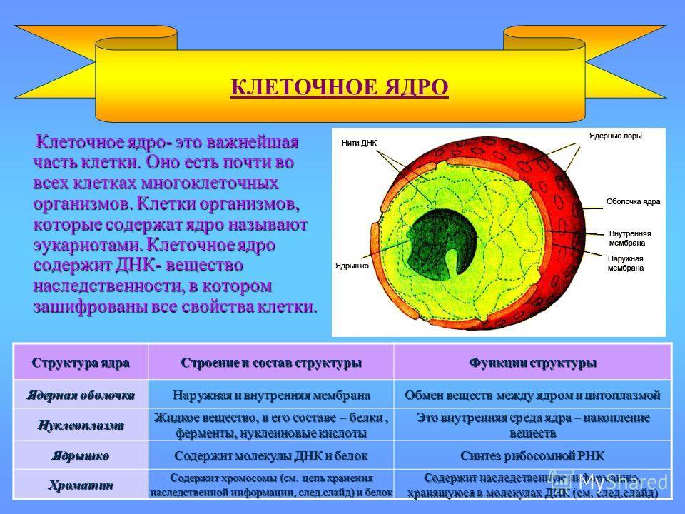 Клеточное ядро- это важнейшая часть клетки. Оно есть почти во всех клетках многоклеточных организмов. Клетки организмов, которые содержат ядро называют эукариотами. Клеточное ядро содержит ДНК- вещество наследственности, в котором зашифрованы все сво