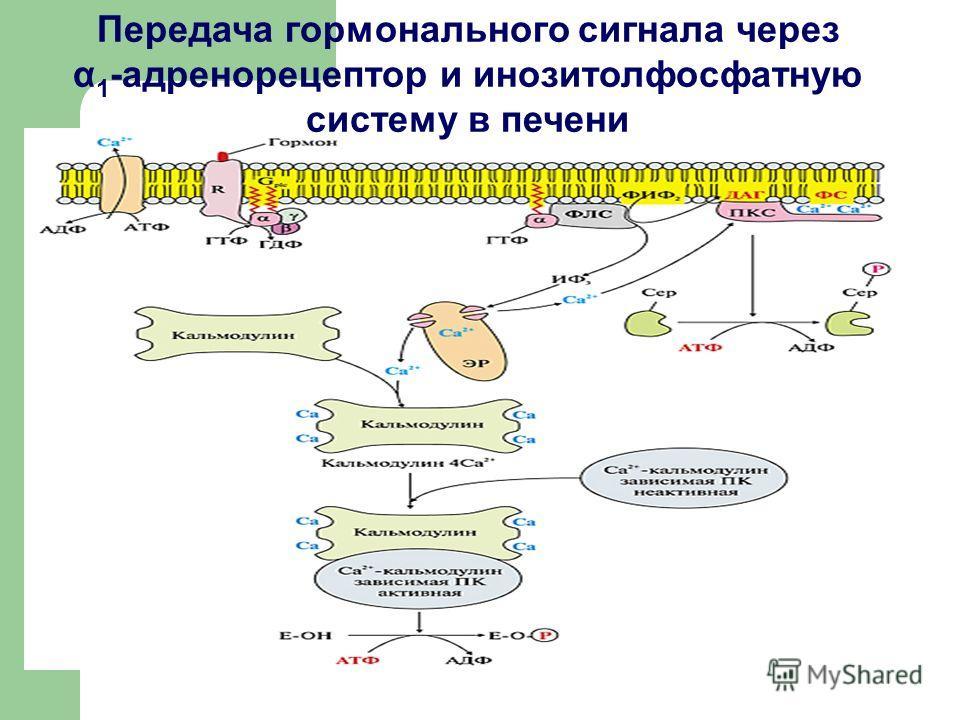 Передача гормонального сигнала через α 1 -адренорецептор и инозитолфосфатную систему в печени