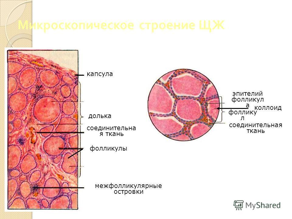 Микроскопическое строение ЩЖ соединительная ткань капсула долька соединительна я ткань фолликулы межфолликулярные островки эпителий фолликул а коллоид фоллику л