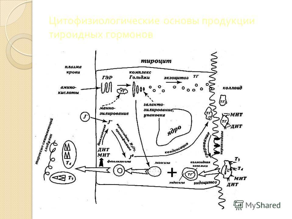 Цитофизиологические основы продукции тироидных гормонов