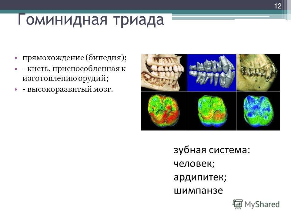 Гоминидная триада прямохождение (бипедия); - кисть, приспособленная к изготовлению орудий; - высокоразвитый мозг. зубная система: человек; ардипитек; шимпанзе 12