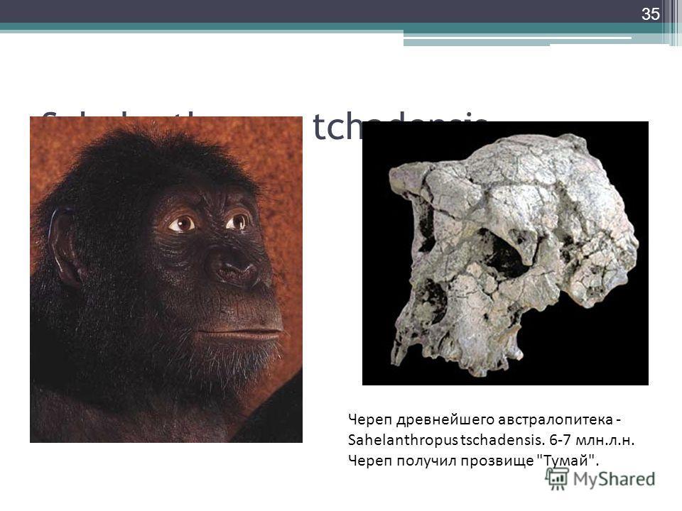 Sahelanthropus tchadensis Череп древнейшего австралопитека - Sahelanthropus tschadensis. 6-7 млн.л.н. Череп получил прозвище Тумай. 35