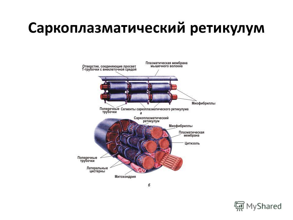 Саркоплазматический ретикулум