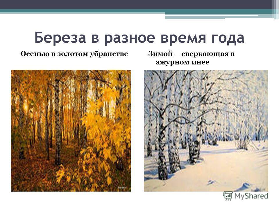 Береза в разное время года Осенью в золотом убранстве Зимой – сверкающая в ажурном инее