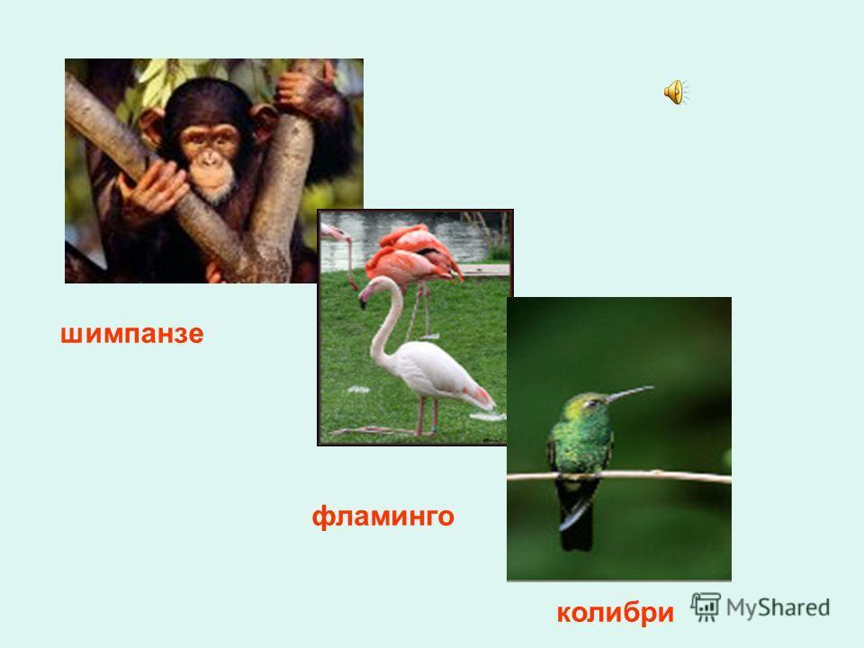 шимпанзе фламинго колибри