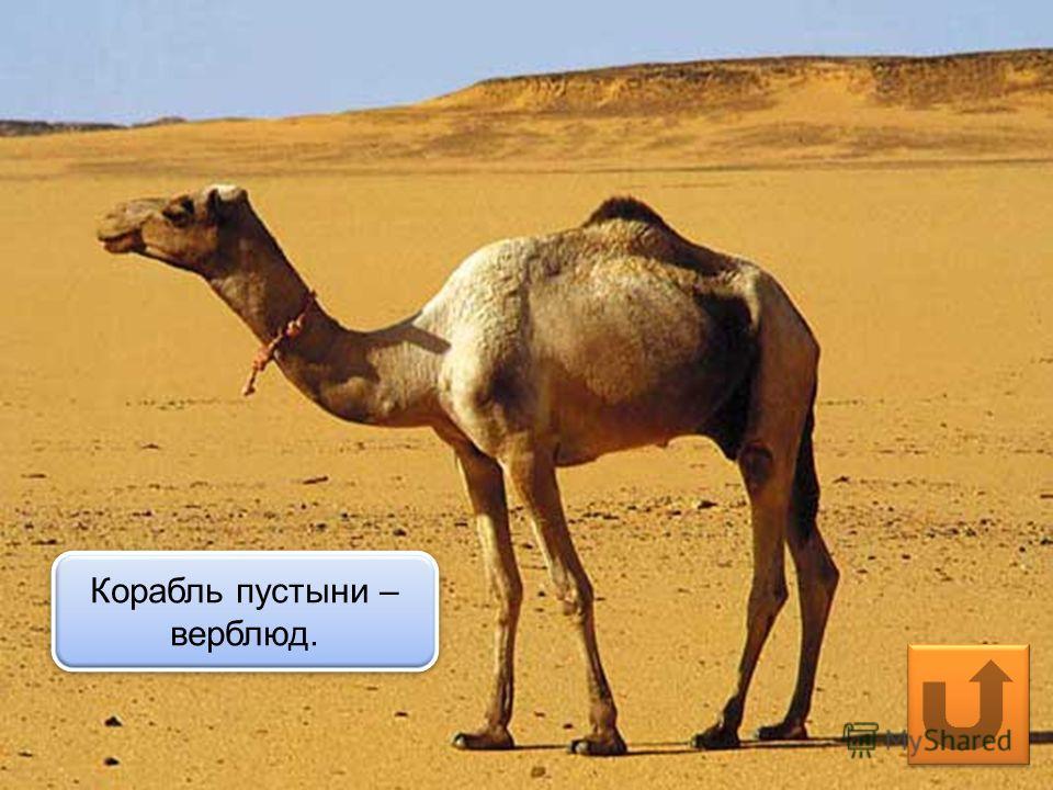 Корабль пустыни – верблюд.