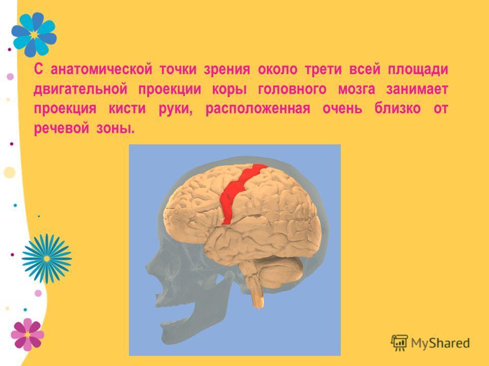 С анатомической точки зрения около трети всей площади двигательной проекции коры головного мозга занимает проекция кисти руки, расположенная очень близко от речевой зоны.