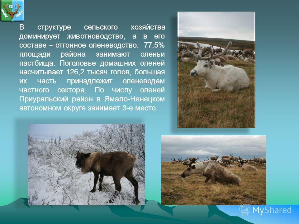 В структуре сельского хозяйства доминирует животноводство, а в его составе – отгонное оленеводство. 77,5% площади района занимают оленьи пастбища. Поголовье домашних оленей насчитывает 126,2 тысяч голов, большая их часть принадлежит оленеводам частно