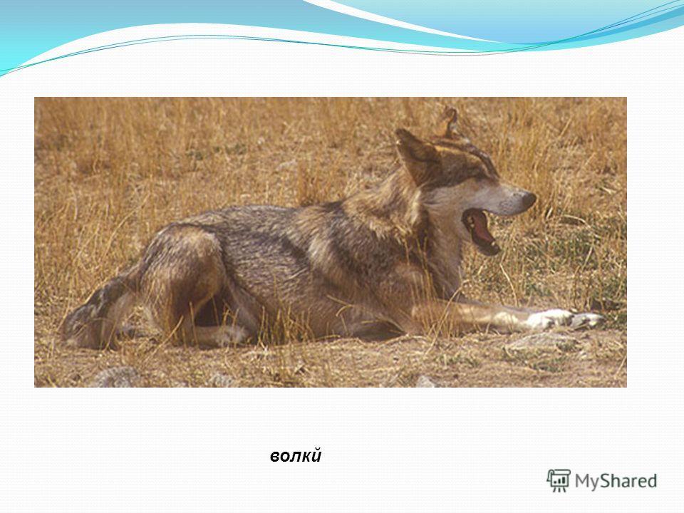 волкй